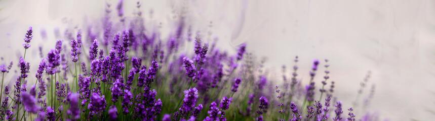 Fototapeta Aromatyczne kwiaty krzaków fioletowej w kąpanej w letnie popołudnie lawendy.. Nieostrość, bokeh. obraz