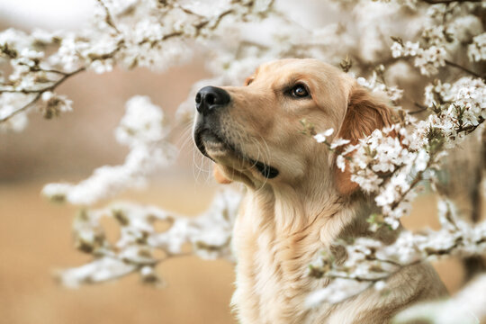 Golden Retriever mit Blüten