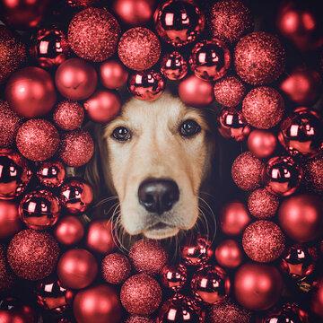 Golden Retriever schaut durch einen Kranz mit Weihnachtskugeln