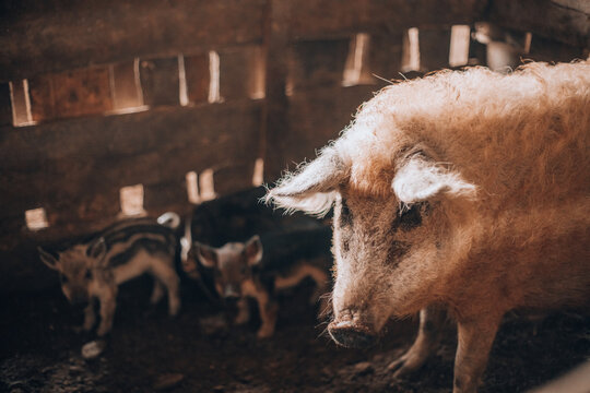 Adult white hairy mangalica pig with piglets