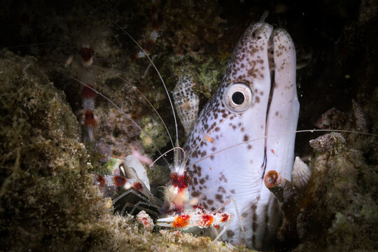 White Moray eel and Banded Coral shrimp in a dark background