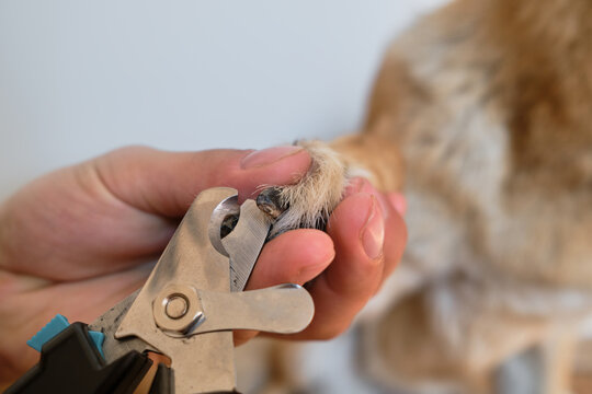 Owners hands take care of pets health. Hold paw and cut claws of German Shepherd. Man cuts dogs claws with special scissors and forceps at home. Close up foreshortening.