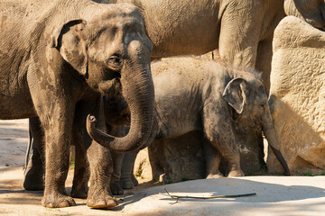 The Asian elephant (Elephas maximus), also known as the Asiatic elephant, is the only living species of the genus Elephas and is distributed throughout the Indian subcontinent and Southeast Asia