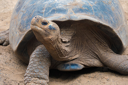Head of a Giant Tortoise - Galapagos Islands
