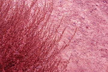 Part of withered lush bush of steppe plant growing on sandy soil in pink tones
