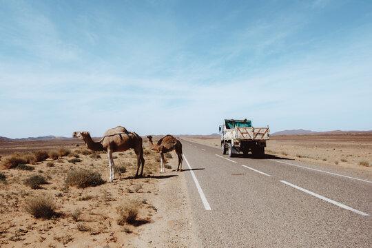Camels grazing near truck in desert