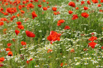 Piękne czerwone maki i chabry na tle zielonego pola  na wsi.