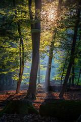 Fototapeta Laubwald im frühen sonnenlicht mit Baumstämmen im vordergrund obraz