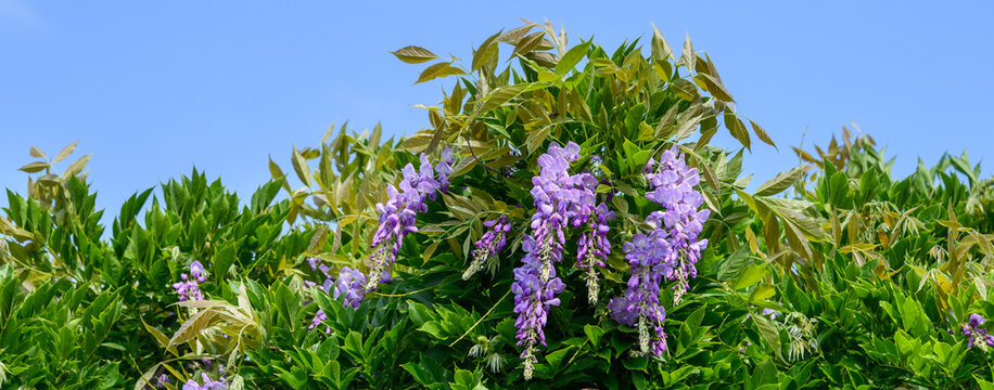 Beautiful purple flowers of a wisteria blooming on vines with vibrant green foliage, as a nature background
