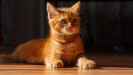 Obraz Młody rudy kotek - fototapety do salonu