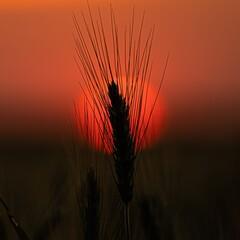 Fototapeta wheat field at sunset obraz