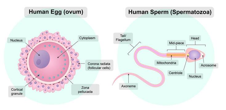 Human germ cells. An egg cell. Spermatozoon