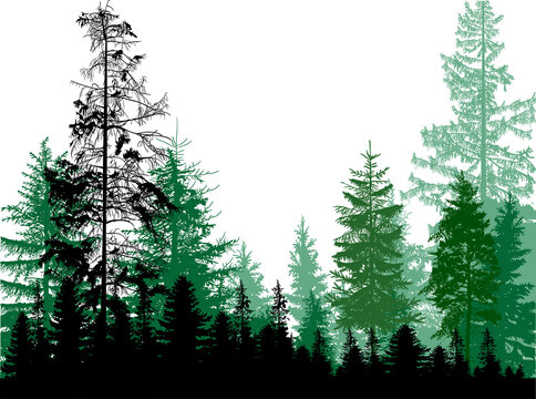 thin firs green forest on white