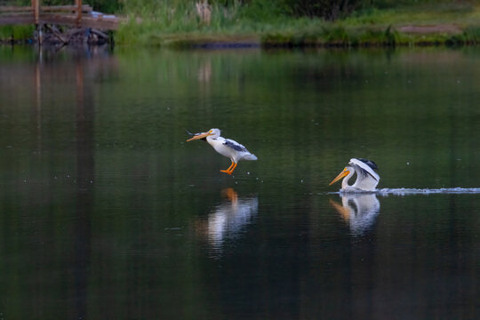 Flock of American White Pelicans