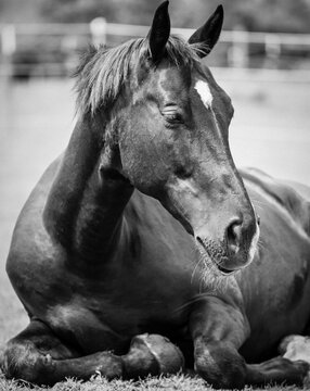 American Quarter, Tennessee Walking & Paint Horse Mischling, Portrait