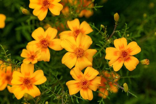 Tagetes tenuifolia signet golden marigold flowers in summer garden