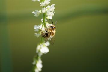 Obraz Pszczoła ,owad zapylający ,pszczoła na kwiecie - fototapety do salonu