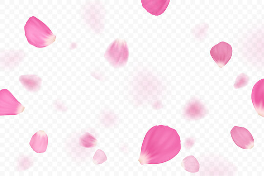 Pink flower petals are falling. Isolated on transparent background.