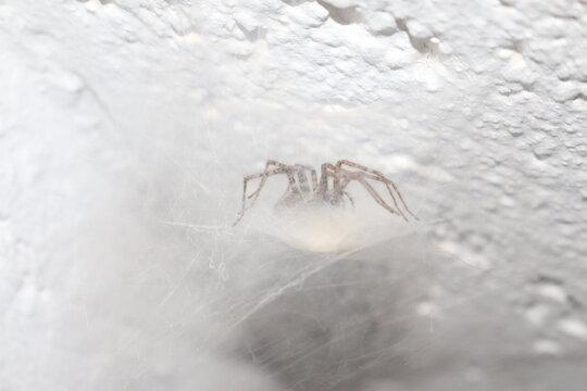 Eine Spinne in Ihrem Netz, das Netz ist aufgebaut wie eine Hängematte. Der ideale Platz für die Jagd.