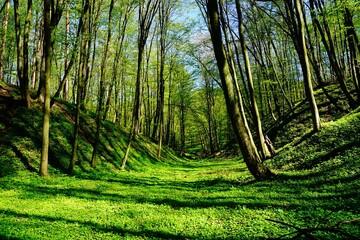 Obraz Leśny wąwóz wiosną soczysta zieleń - fototapety do salonu