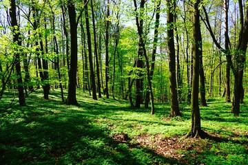 Las liściasty wiosną ubrany w żywą zieleń