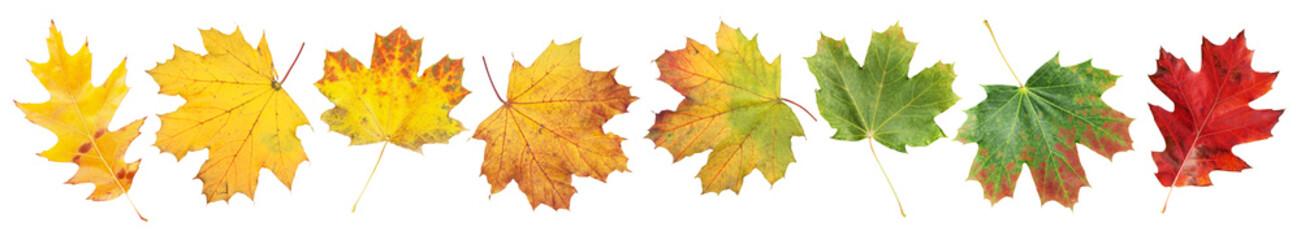 Obraz Various autumn maple leaves - fototapety do salonu