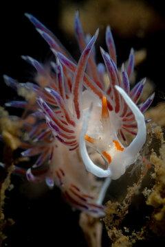 Cratena peregrina nudibranch in the Mediterranean sea