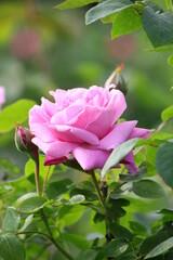 Fototapeta Różowy kwiat róży. Róże w ogrodzie obraz