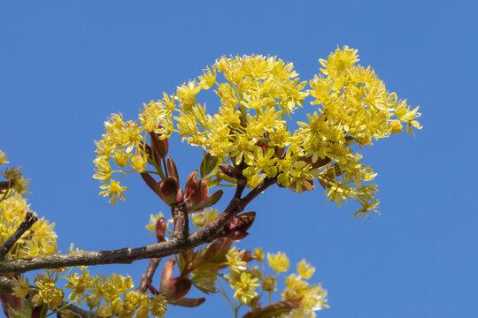 Blüten des Spitzahorns (Acer platanoides) vor blauem Himmel.