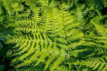 Luscious green ferns fern leaves