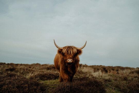 Portrait brown Highland Cow, Peak District National Park, England