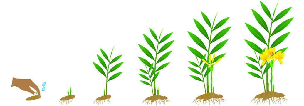 Cycle growth of zingiber officinale ginger plant from the rhizome on a white background.
