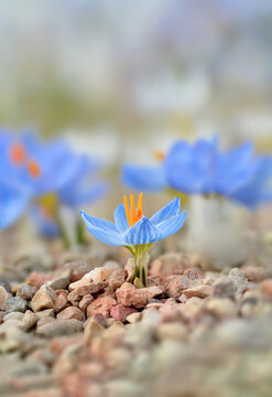 Macro of a tiny single light blue early Spring crocus flower in a garden. Ground covered with rocks. Shallow depth of field, soft focus and blur