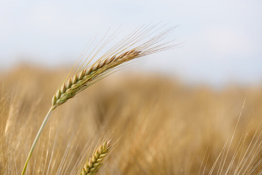 Ear spike of barley in agricultural field in summer