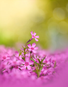 Macro of pink flowers standing out against a wide field of flowers. Light green background with bokeh. Natural sunlight shining