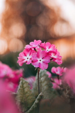 Macro of a pink flower head with multiple blossoms. Golden orange sunset background with bokeh. Soft, blurred flowers in the foreground