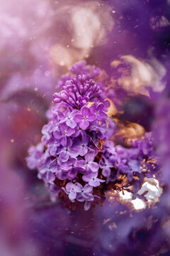 Close-up of purple lilac flowers with magical bokeh in the air. Soft focus, shallow depth of field and beautiful bokeh from the Sun