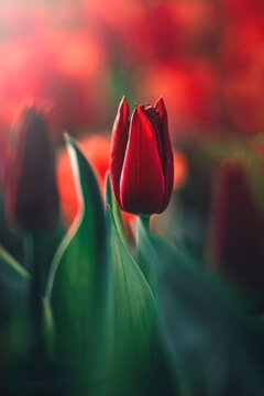 Macro of single isolated red tulip flower against soft, blurred green background with bokeh bubbles and sunshine