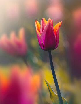 Macro of single isolated orange and pink tulip flower against soft, blurred green background with bokeh bubbles and sunshine