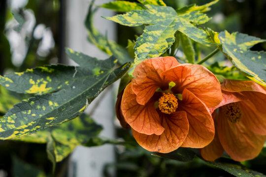 abutilon × hybridum