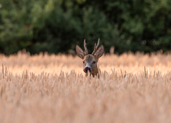 Funny roe deer in the wheat