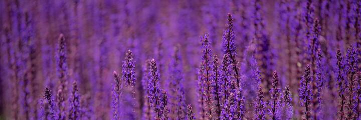 Obraz Panorama of flowers of perennial Salvia nemorosa 'Caradonna' in summer - fototapety do salonu