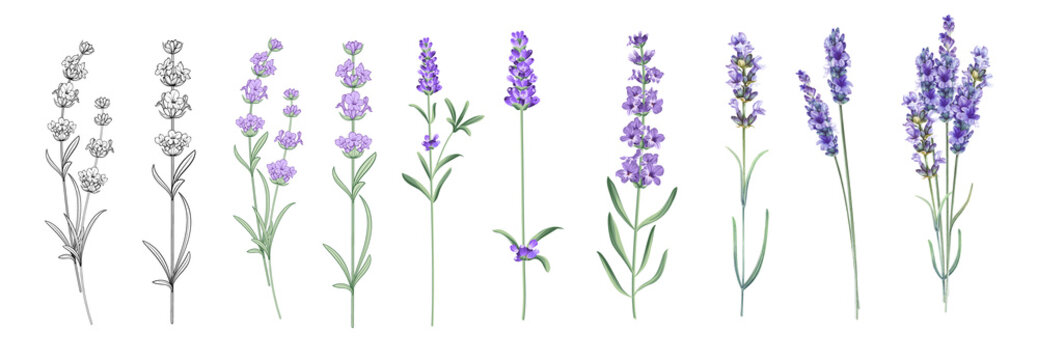 Set of differents lavender on white background. Watercolor, line art, outline illustration.