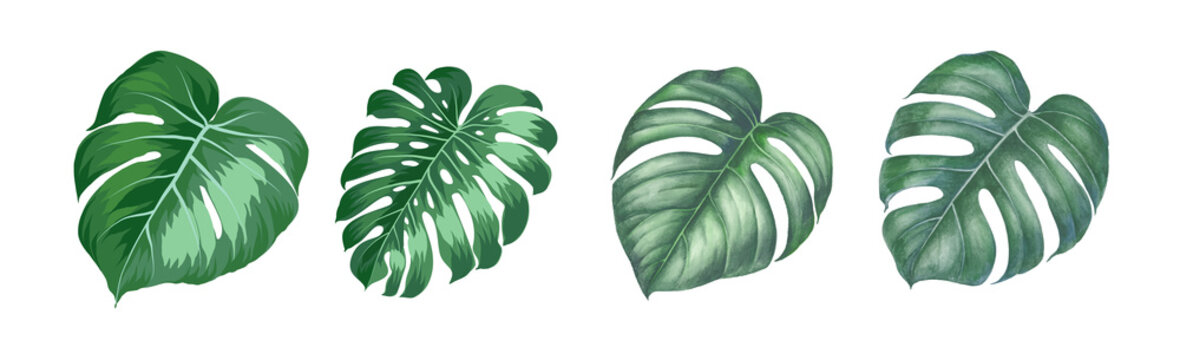 Set of differents magnolia leaves on white background. Watercolor, line art, outline illustration.