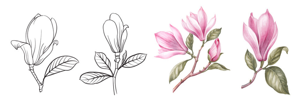 Set of differents magnolia on white background. Watercolor, line art, outline illustration.