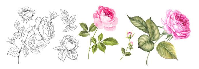 Fototapeta Set of differents roses on white background. Watercolor, line art, outline illustration. obraz