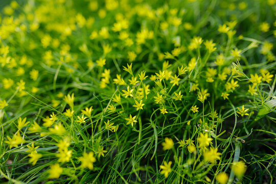 Gagea minima flowers and grass outdoors