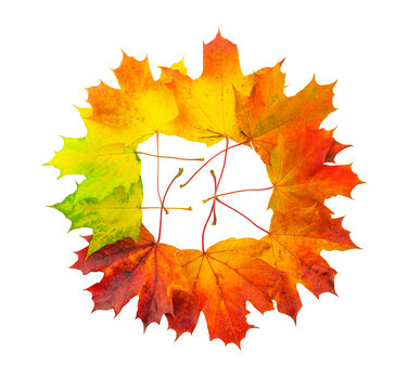 Creative colorful multicolored  designer wreath  isolated on white background made of natural maple leaves autumn season with a smooth color transition in yellow, orange, burgundy, green.