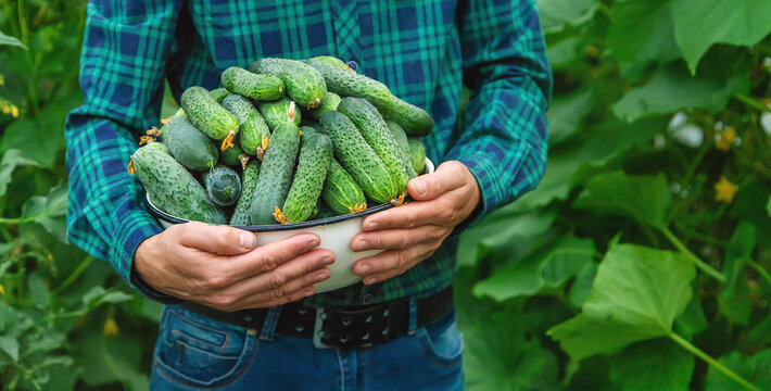 A man farmer holds a harvest of cucumbers in his hands. Selective focus.