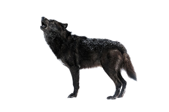 canadian howling wolf isolated on white background
